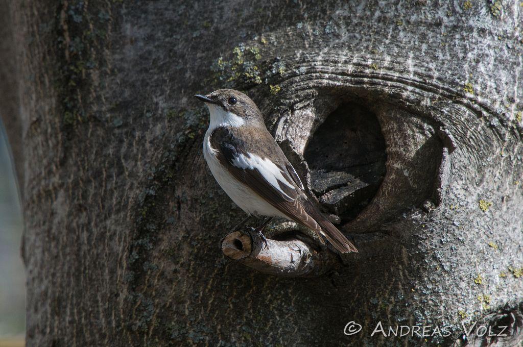 Trauerschnäpper / Pied Flycatcher / Ficedula hypoleuca