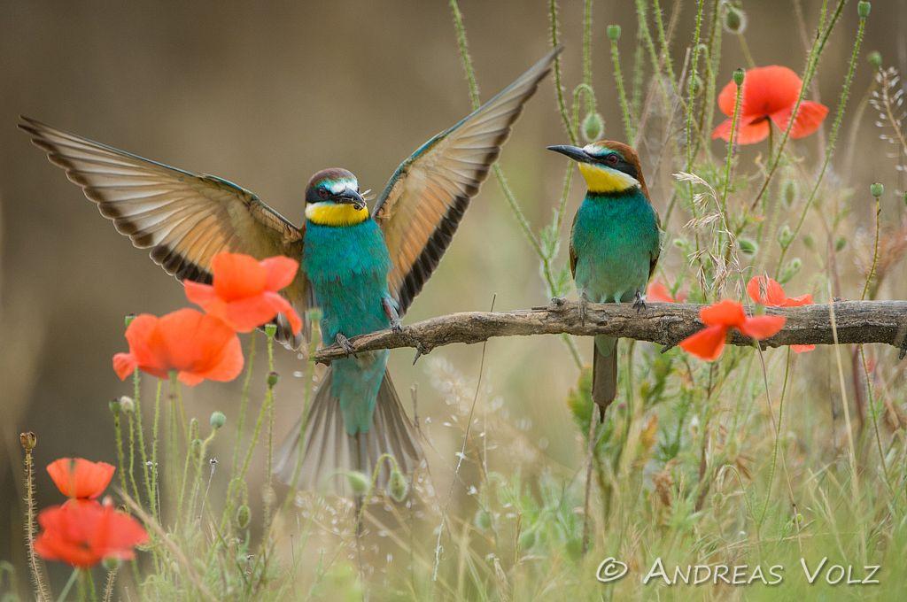 Rackenvögel