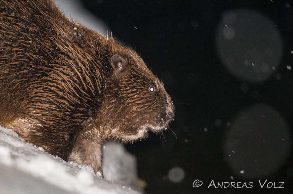 Europäische Biber / European Beaver / Castor fiber