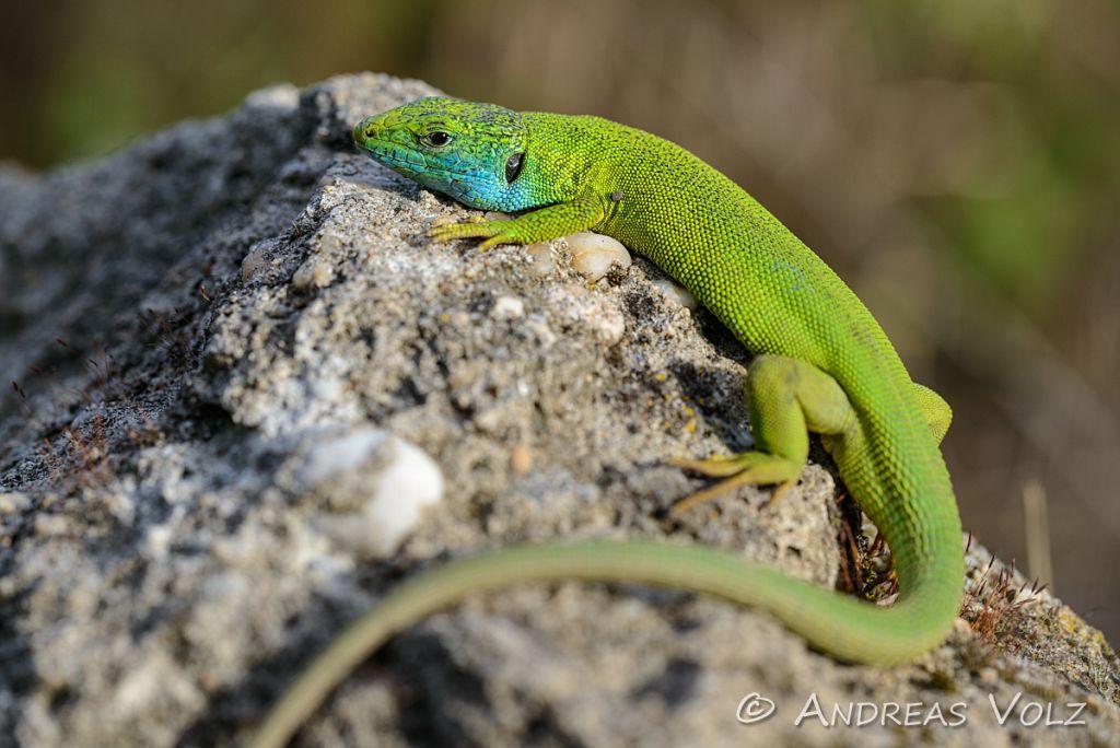 Reptilien133.jpg