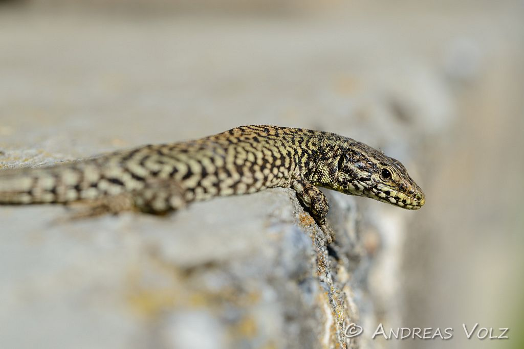 Reptilien141.jpg