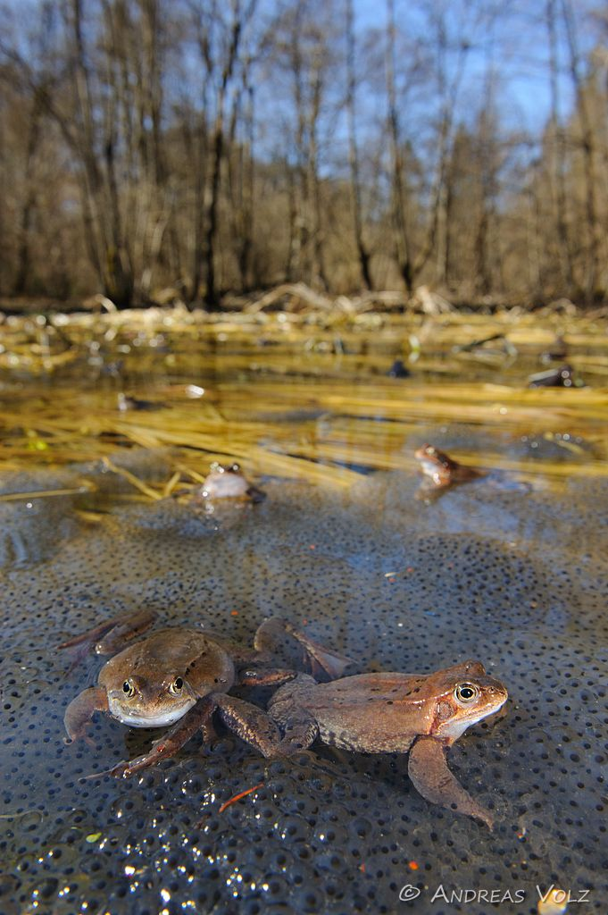 Amphibien69.jpg