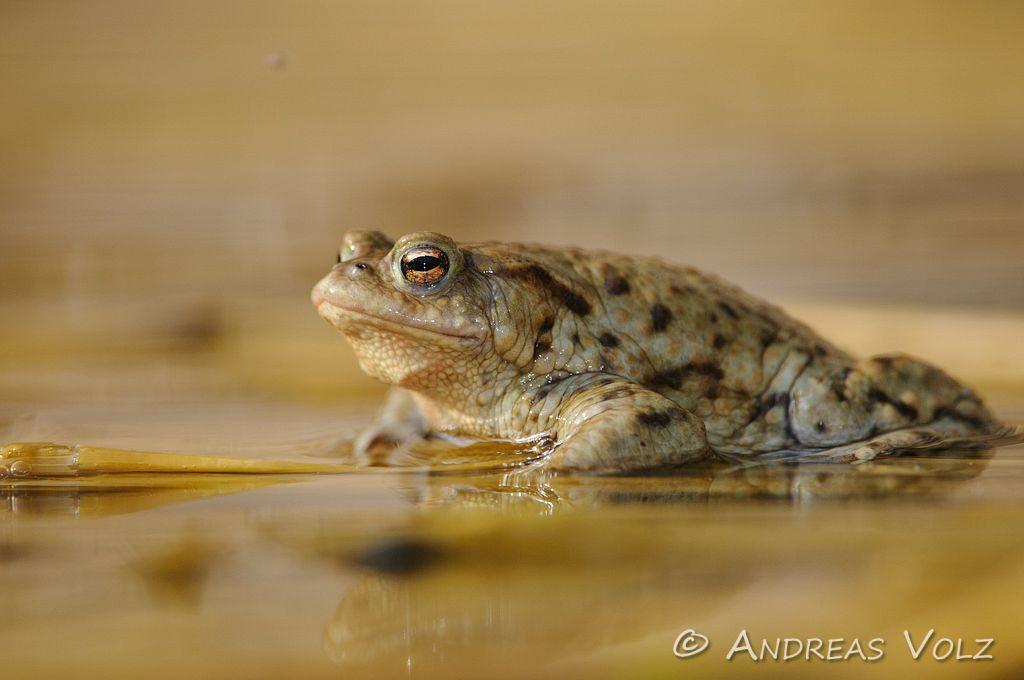 Amphibien58.jpg