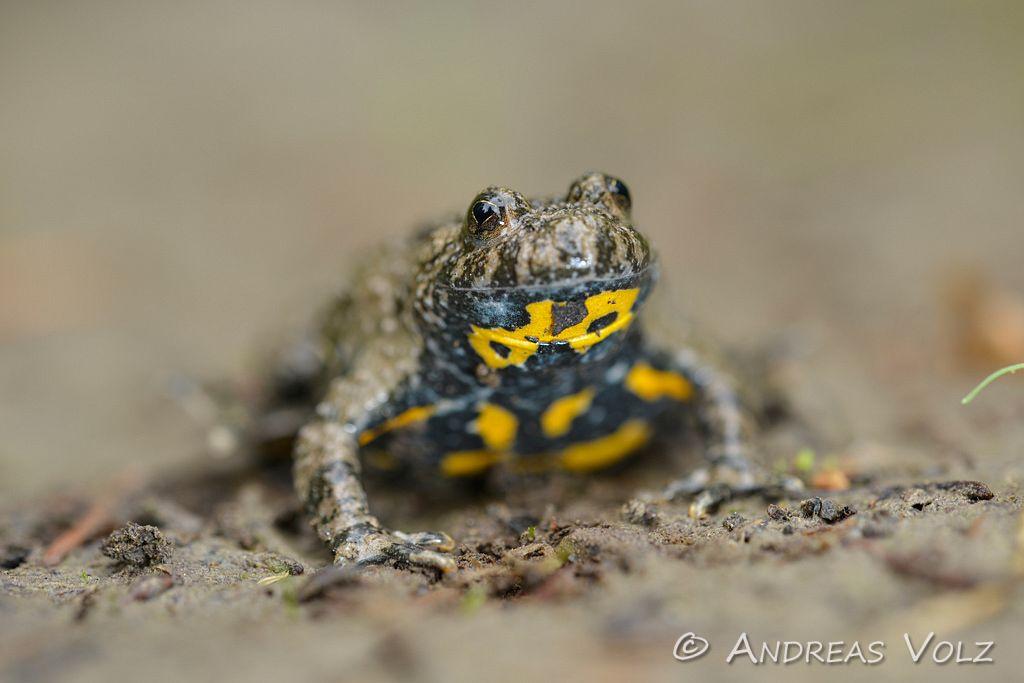 Amphibien97.jpg