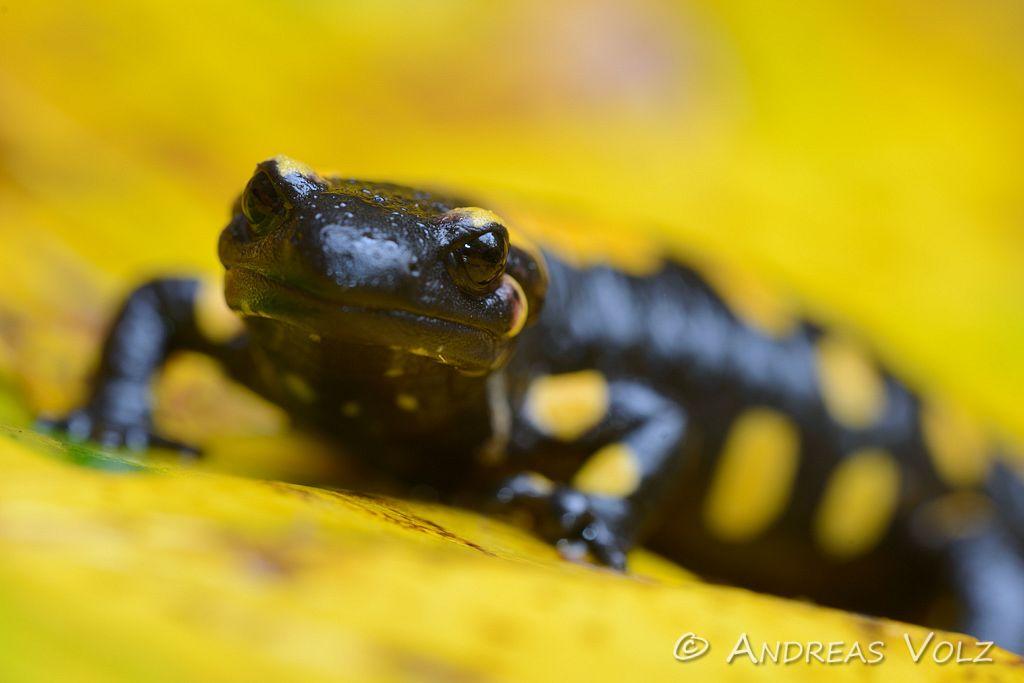 Amphibien112.jpg