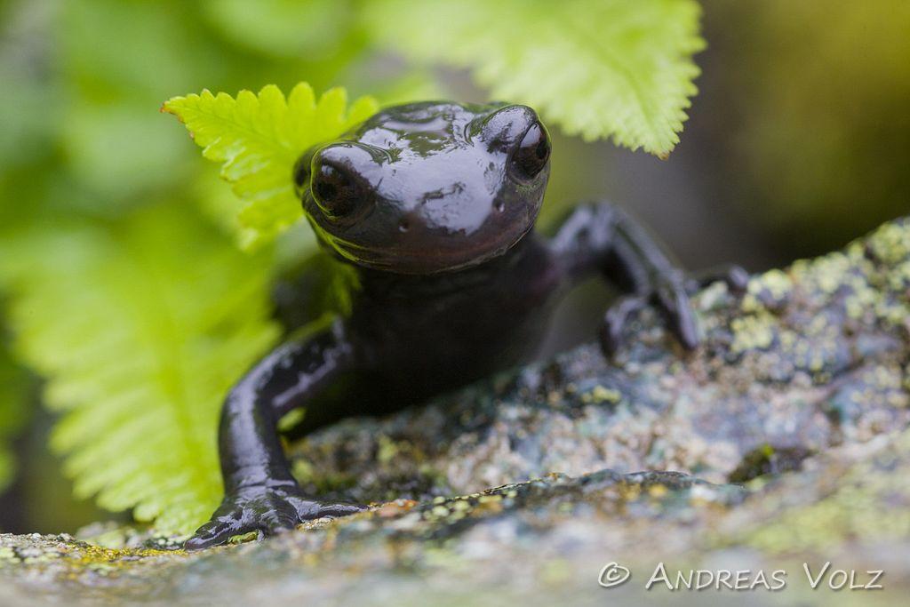Amphibien14.jpg