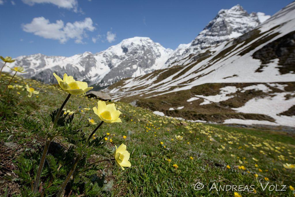 Gelbe Alpen-Kuhschelle, Schwefel-Küchenschelle / Alpine Pasqueflower / Pulsatilla alpina ssp. apiifolia