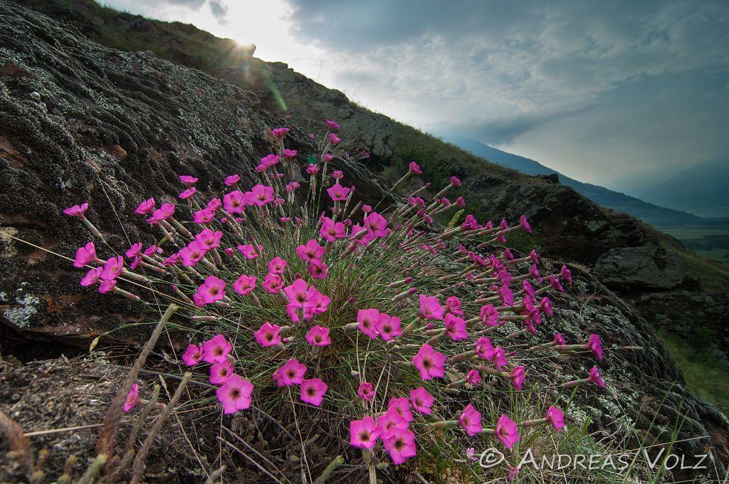 Steinnelke / Dianthus sylvestris