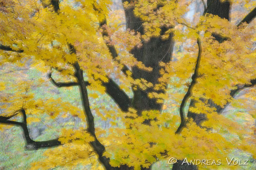 Ahorn im Herbst / Maple in Autumn