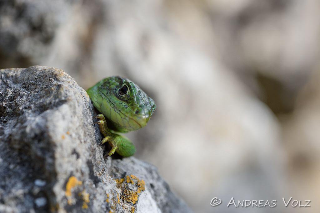 Reptilien182.jpg