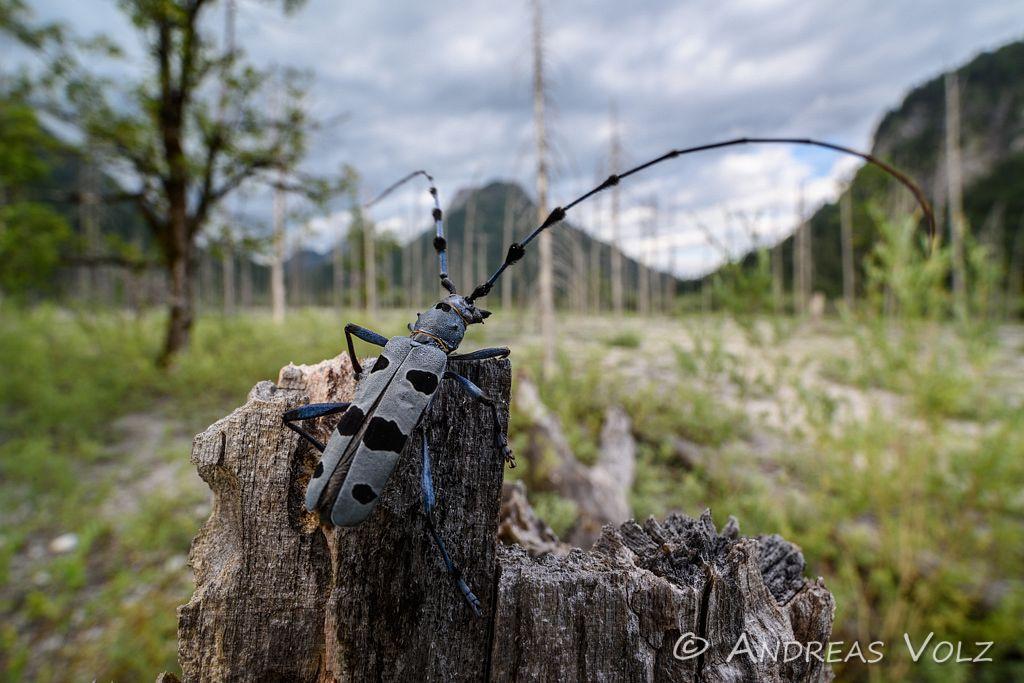 Alpenbock / Rosalia longicorn / Rosalia alpina