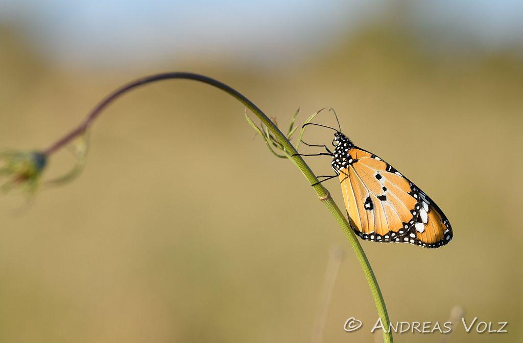 Kleiner Monarch / Plain tiger / Danaus chrysippus