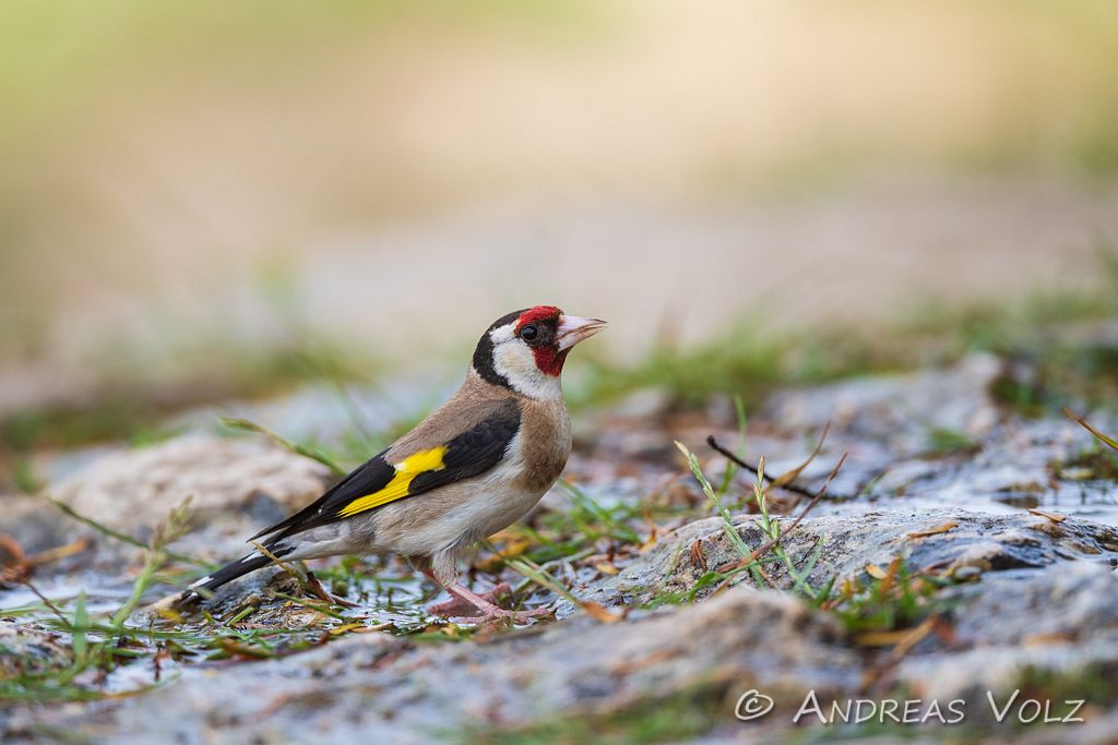 Stieglitz / European Goldfinch / Carduelis carduelis
