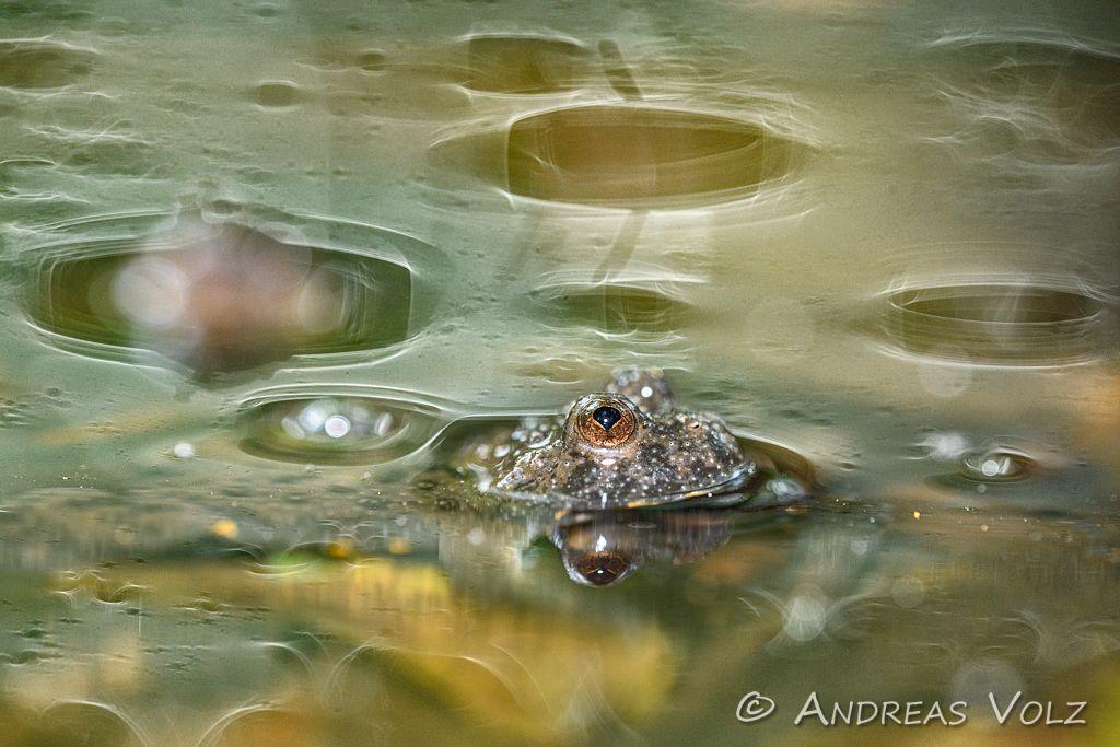 Amphibien183.jpg
