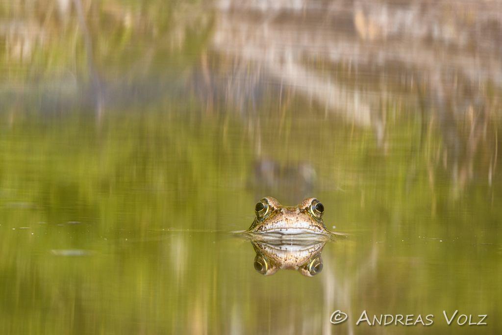 Amphibien192.jpg