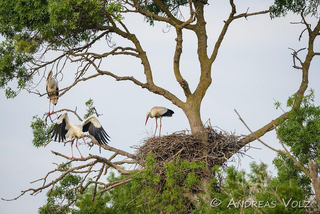 Weißstorch / White Stork / Ciconia ciconia