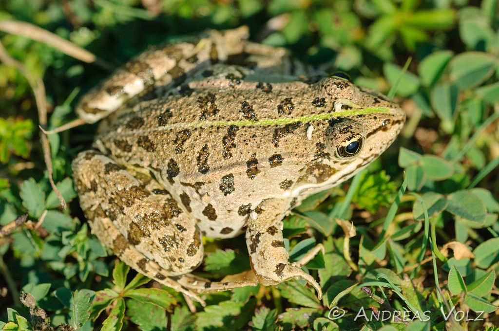 Amphibien64.jpg