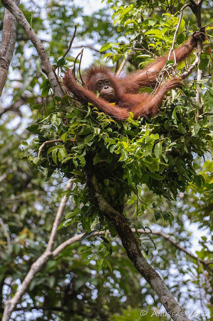 Borneo-Orang-Utan / Orangutan / Pongo pygmaeus