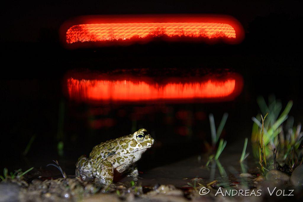 Amphibien139.jpg