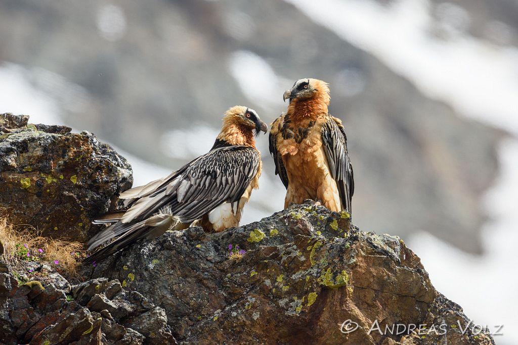 Bartgeier / Bearded Vulture / Gypaetus barbatus