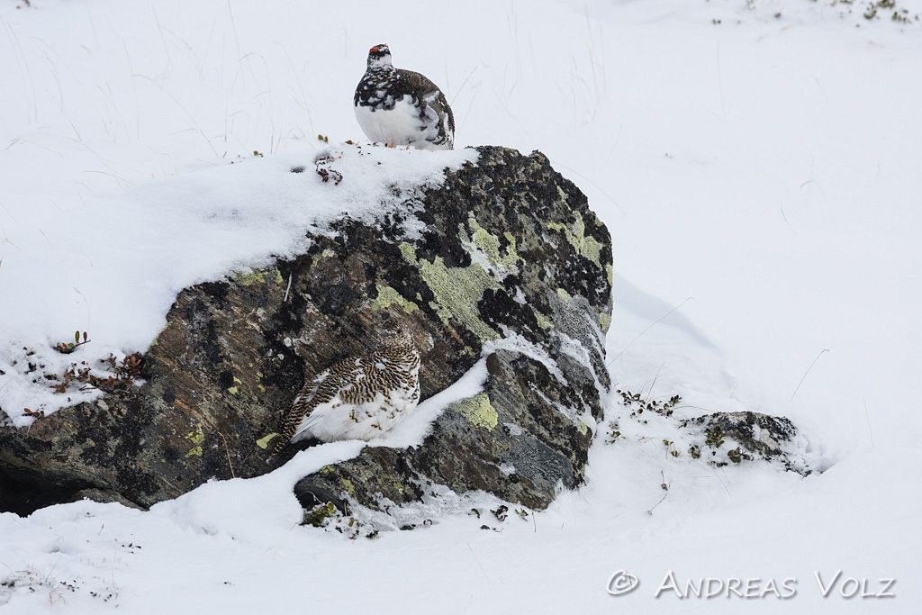 Alpenschneehuhn / Ptarmigan / Lagopus muta