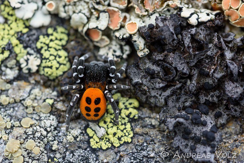 Rote Röhrenspinne / Ladybird Spider / Eresus sandaliatus