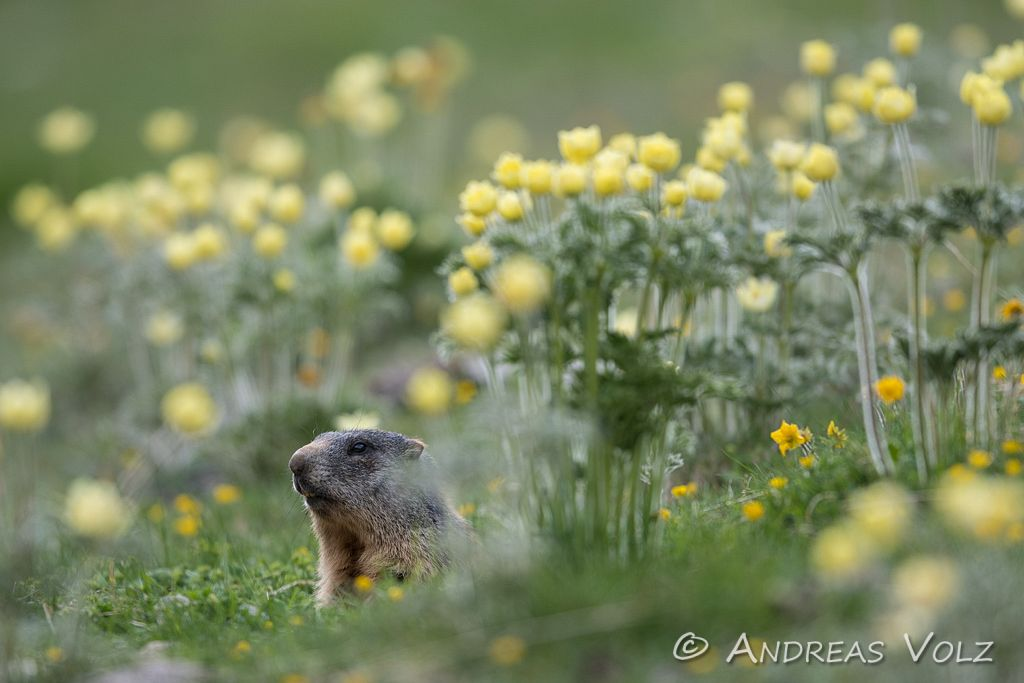 Alpenmurmeltier / Alpine Marmot / Marmota marmota