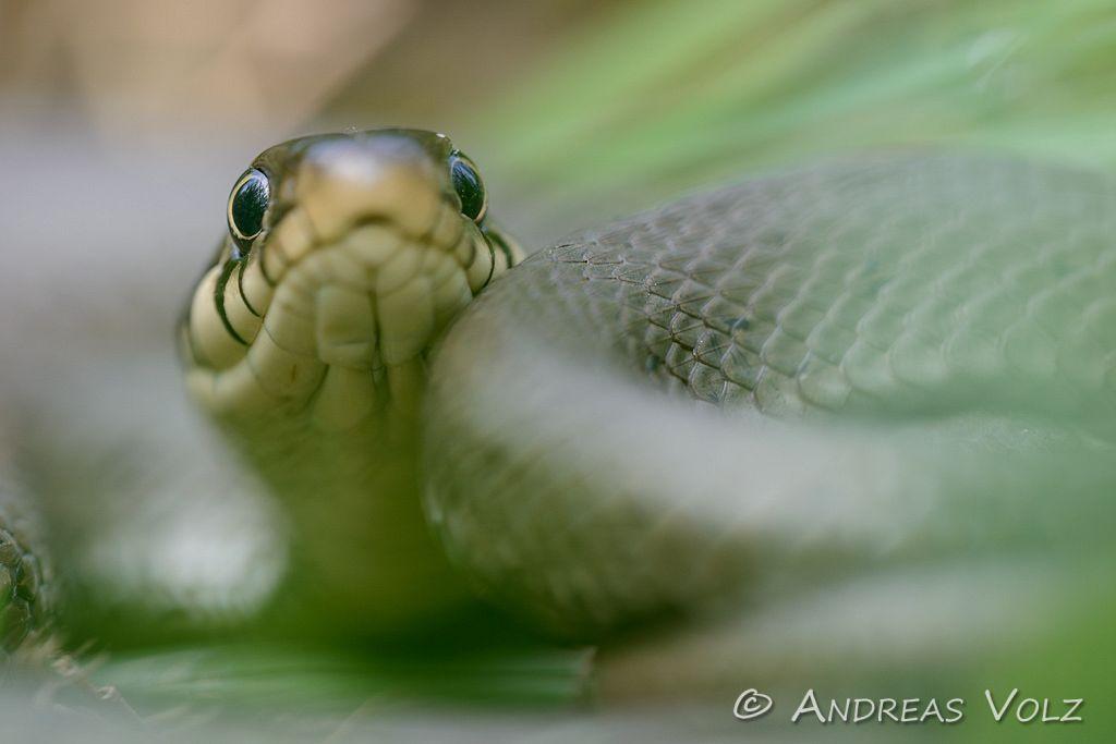 Reptilien113.jpg
